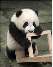 《熊猫宝宝成长日记》