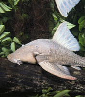 <a></a>Wood-eating catfish