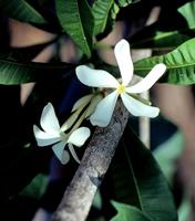 <a></a>Gardenia