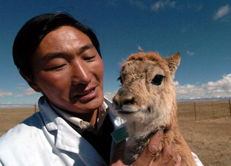 Brief introduction to Tibetan antelope