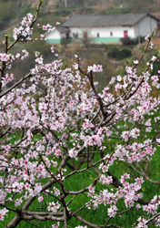 Peach flowers blossom, Hubei