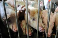 """记者在江苏南京市场上发现,有一种所谓的 """"瘦肉型""""猪肉非常受欢迎,和普通的猪肉相比,这种猪肉几乎没有什么肥肉。生猪行业的业内人士把这种瘦肉猪戏称为 """"健美猪"""",而记者在调查中却发现,这种所谓的 """"健美猪""""身上疑问重重。"""