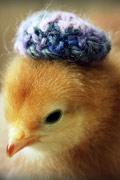 小鸡也时尚 小鸡雏戴花帽拍写真惹人疼