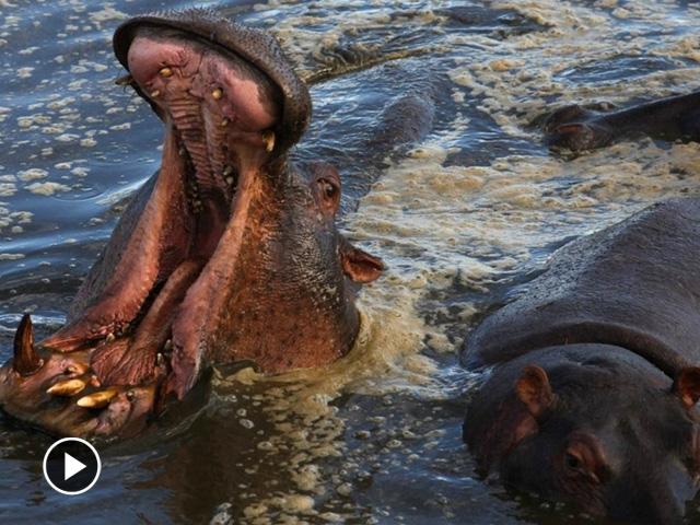 200多万只食草野生动物组成的远征大军,从坦桑尼亚自南向北进入肯尼亚的马塞马拉自然保护区,这将是一个怎样的旅程?在它们的迁徙路线上有着怎样的自然风光?又有着哪些天敌和同类?马塞马拉大草原看上去非常平静,但背后既有生机也有危机,无论是猎食者,还是被猎食的食草动物,它们都是为了生存,而对于它们生存的智慧和生命的意志,都值得我们人类耐心的体会,认真的观察,甚至是思考。 [详细]