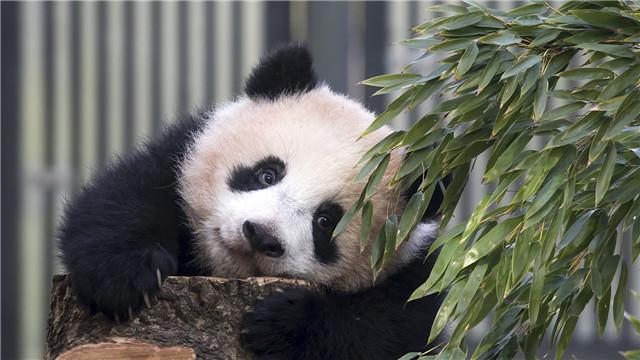 """外交部:希望大熊猫发挥中日友好""""使者""""的作用"""