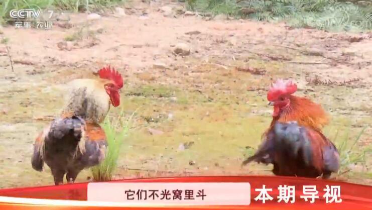 [科技苑]吃石头的土鸡变金鸡 20190703