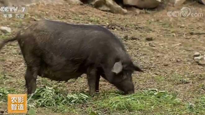 [每日农经]80斤的香猪卖出2000多元 20190717