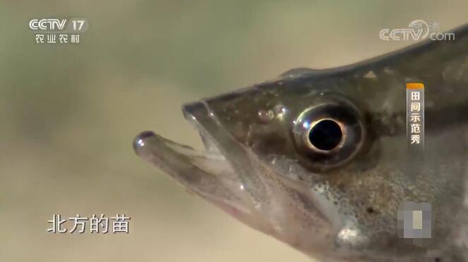 《田间示范秀》 20200105 一泓清水鳜鱼肥