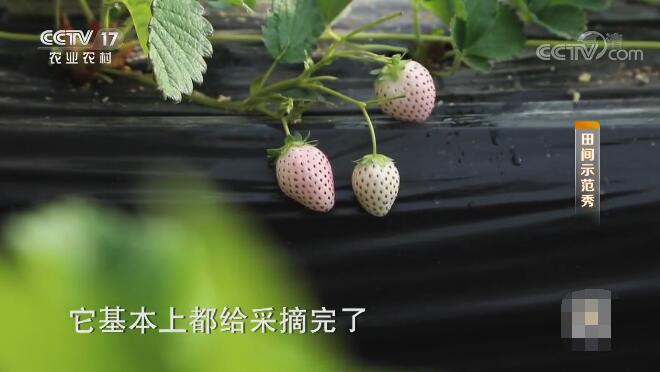 《田间示范秀》 20200103 高手教你种草莓
