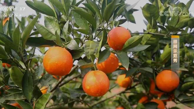 《田间示范秀》 20200113 小血橙遇到的大难题