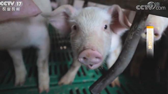 《田间示范秀》 20200325 让猪温暖过冬