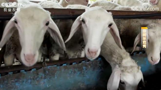 《田间示范秀》 20200414 养羊养猪 各有诀窍