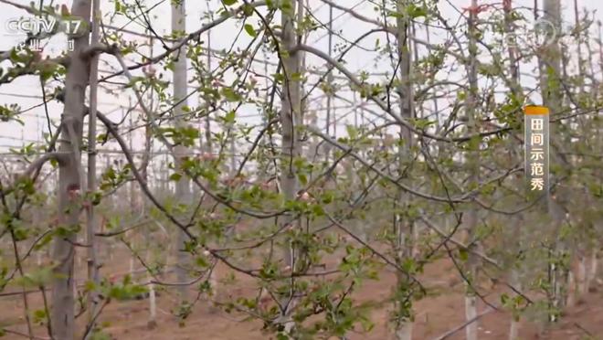 《田间示范秀》 20200423 黄土高原上的苹果园