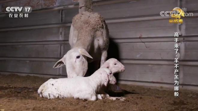 《田间示范秀》 20200626 高手来了·羊不产羔为哪般