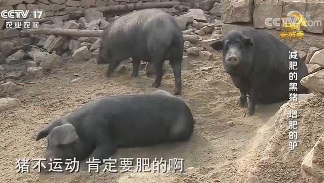 《田间示范秀》 20200801 减肥的黑猪 增肥的驴