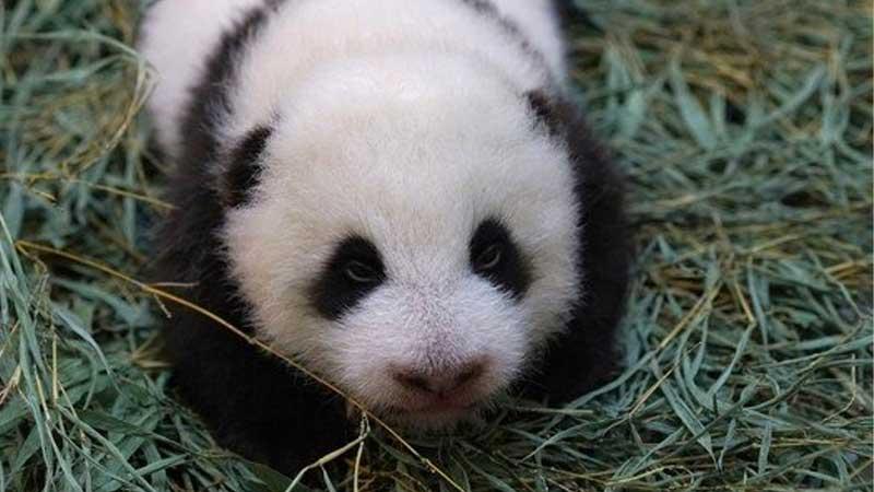 """新出生的熊貓""""圓寶""""體檢很健康"""