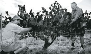 现存历史最悠久的西拉葡萄老藤