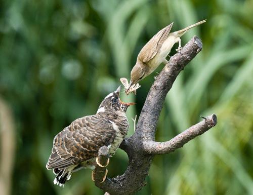 悲摧的养母--揭秘杜鹃鸟独特的繁殖习性