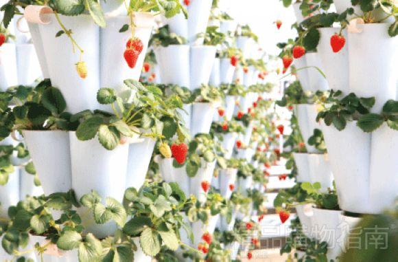 提起冬季采摘,草莓永远是绝对的主打,当置身于暖暖的温室大棚之中,这份冬日里的惬意也最为难得。