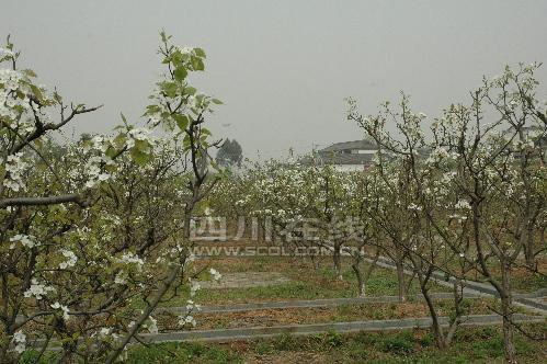 数万株梨树、桃树、枇杷等果树