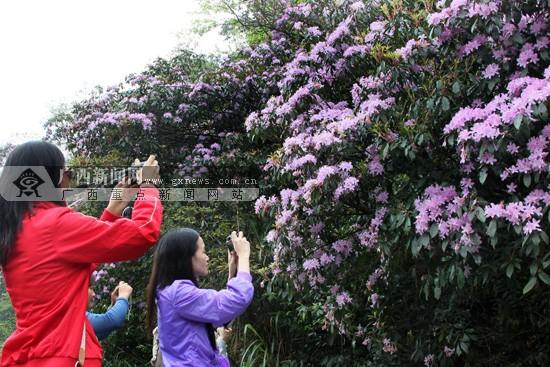 2013广西大明山杜鹃花旅游节4月13日至5月5日举办