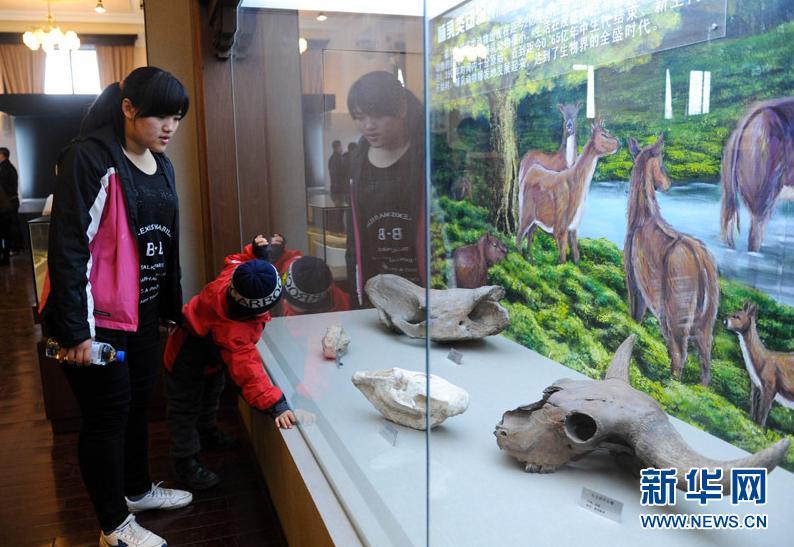 4月4日,一位小朋友在观看展出的东北野牛头骨。