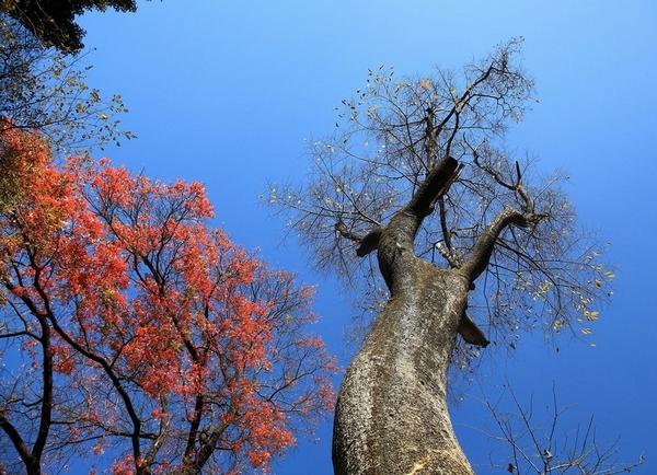 五龙潭原始森林景区高山杜鹃已进入盛花期