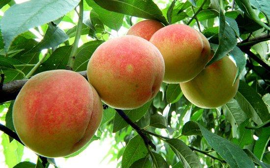 夏季新鲜瓜果多 爱上火要少吃温性水果