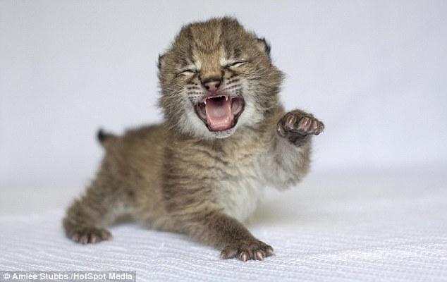 """这两只雌云豹幼崽和一只雌猞猁幼崽在美国纳什维尔动物园出生。近几年来,这家动物园新增不少动物。这些可爱照片显示,这些惹人怜爱的幼崽""""磨爪霍霍"""",想马上使用捕猎技能。纳什维尔动物园最近4年内新增20只云豹和3只欧亚猞猁。"""