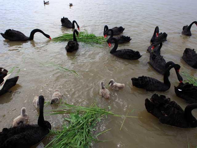 """天鹅湖里的黑天鹅 鸟类与植物是生态最权威的鉴定者。记者在黄河三角洲国家级自然保护区采访时,一望无际的芦苇荡中,不时会看到有鸟儿站在""""废弃""""的电线杆上。解说员告诉我们,这些不是真的废弃线杆,而是专为国家一级保护鸟类东方白鹳搭建的""""家""""。白鹳性喜在高处做窝,景区里高的只有电线杆,在其上做窝,一是影响输电安全,一是危及白鹳性命。为了安全地留住这种鸟,东营人就立起了众多不带电线的线杆。现在,东方白鹳已由候鸟变为了留鸟,达到350只,占全球总数的11."""