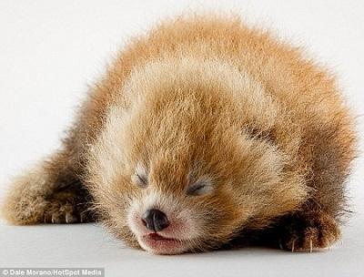 小熊猫宝宝要在出生三个月后才能睁开眼睛