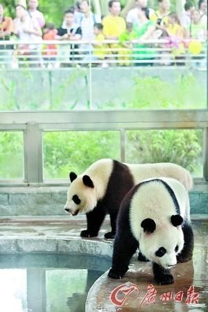 成都熊猫昨驾临广州 双胞胎将落户广州动物园