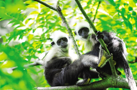 世界最濒危的灵长类动物之一 白头叶猴.