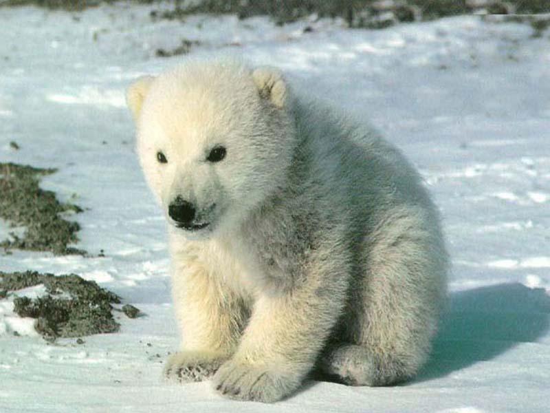 北极熊动物图片