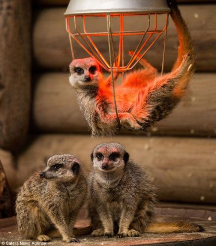 这3只小猫鼬在动物园的取暖灯下取暖.