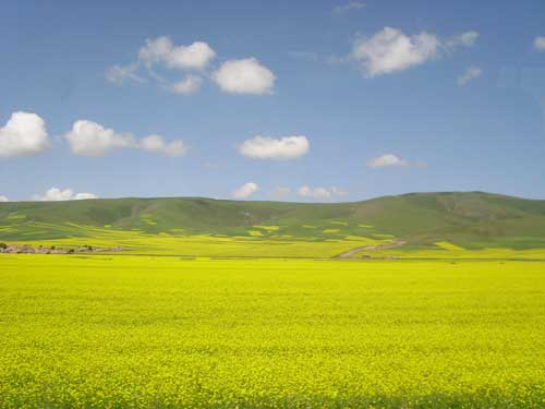 蓝天白云金黄的油菜花就是我美丽的家——青海