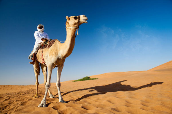 Dubai desert tour camels falconry and dune driving cctv news a more familiar desert animal is of course the camel and the desert safari offers tourists thecheapjerseys Choice Image