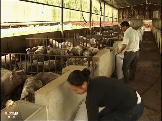 小养殖户在猪舍里忙碌