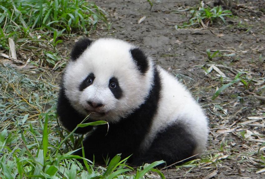 大熊猫 圆仔 ,台湾的全民偶像 厦门广电网