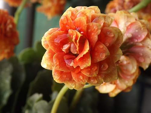 绽放的长寿花