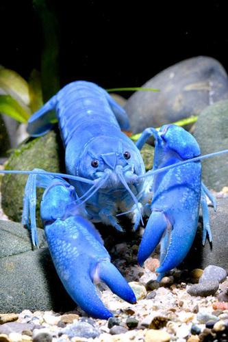 蓝色龙虾:岂止奢华那么简单