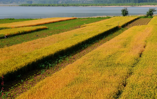 金灿灿的麦子收获了一年的梦想