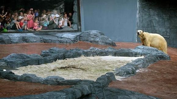 新加坡一家动物园中的北极熊