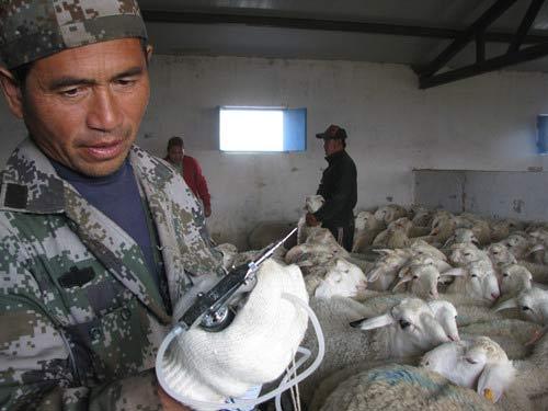 准备就绪 为羊只注射防疫针剂保健康