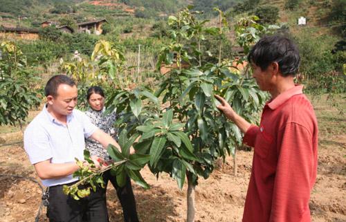 谭继森在给村民讲解芒果树枝叶的修剪技术