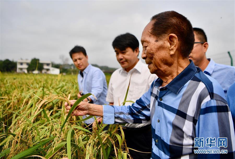袁隆平(前)在湖南省湘潭河口镇的试验田中查看低镉水稻的长势(2017年9月29日摄)。