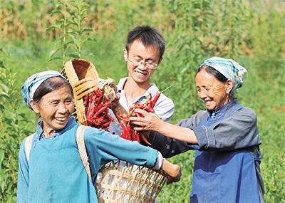 貴州黔南州長順縣代化鎮打朝村第一書記龍玉平(中)與群眾一道收辣椒。