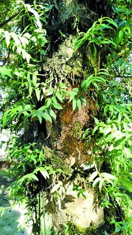 种在树上的石斛。
