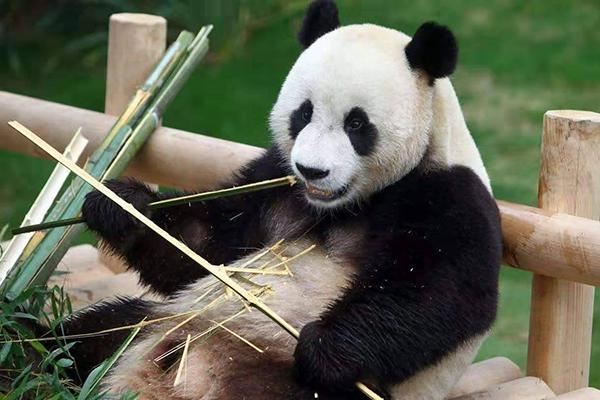熊猫要到高雄了。(图片取自台媒)