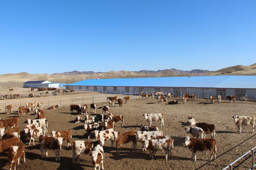 玛拉沁艾力养牛专业合作社养殖基地一角